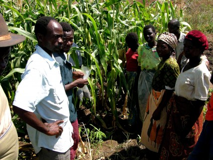 Growing the white hoarypea plant in malawi makes the watersheds