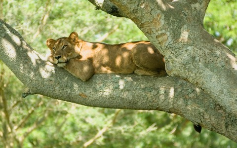 A tree-climbing lioness in Queen Elizabeth National Park.