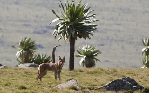Canis_simensis_-Simien_Mountains,_Ethiopia-8