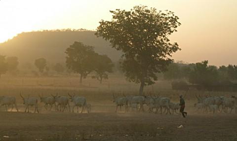 Fulani_herd_in_the_dust