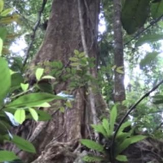 Gabon logging study suggests higher, more accurate carbon measure