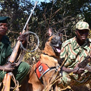 Rescue dogs become K9 conservationists to deter Zambia poaching