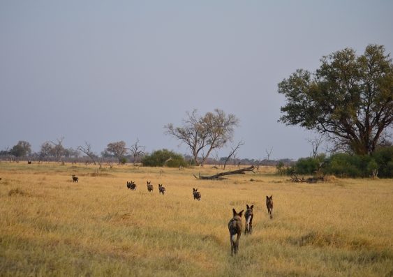 Study: African wild dogs use sneezing to make group decisions