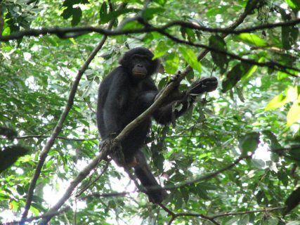 Discovery of malaria in African bonobos may shed light on human infections