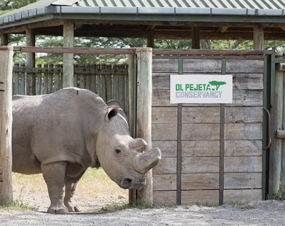 Sudan, world's last male northern white rhino, has died in Kenya