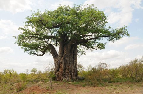 Scientists troubled over southern Africa's baobab tree loss