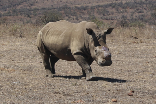 Rhino: Questions in South Africa as CITES head praises illegal trade efforts in Vietnam