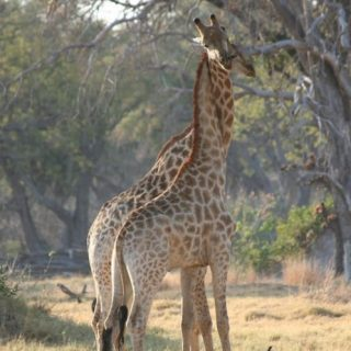 #Giraffe, African grey parrot on new IUCN threatened species list
