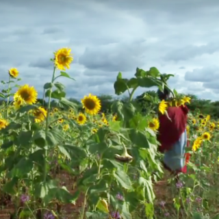 Study of Tanzania's sunflower seeds finds high aflatoxin levels