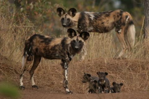 Warming climate poses a threat to African painted dog survival