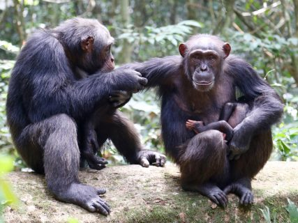 Cote d'Ivoire: Anthrax strain threatens chimps, may pose human risk