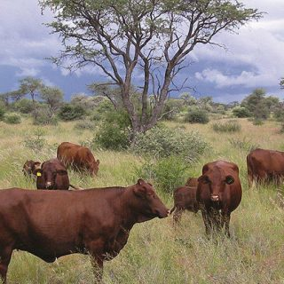 Namibia leads the way as WHO issues meat industry antibiotics guidelines