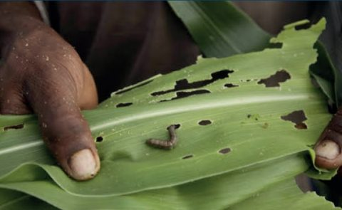Japan commits $3 million to South Sudan to fight Fall armyworm damage