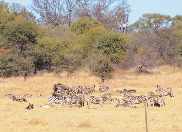 Race to the swift? Not always, says high-tech Botswana game research