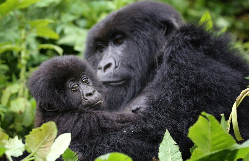 Rwanda plans park expansion to protect mountain gorillas