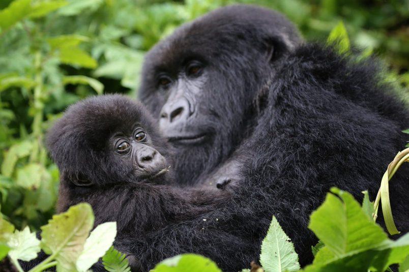 Rwanda plans park expansion to protect mountain gorillas