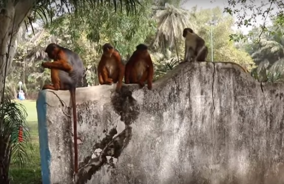 Gambian activists block building plans in endangered monkey habitat