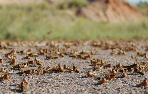 Locust swarms present risk to Red Sea nations
