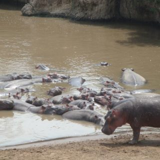 Study: Vanishing hippos are critical to African ecosystem health