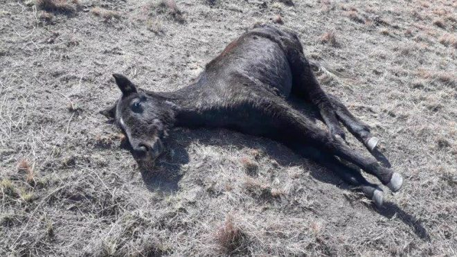 SA SPCA seizes neglected horses it says belong to Lesotho military
