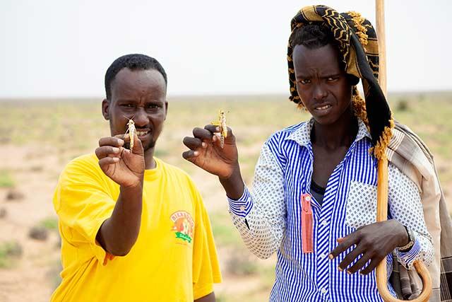 FAO: Somalia sees worst locust crisis in 25 years