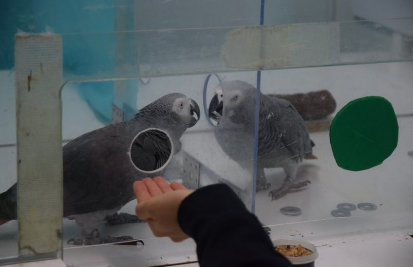 African grey parrots surprise scientists with their helping behavior