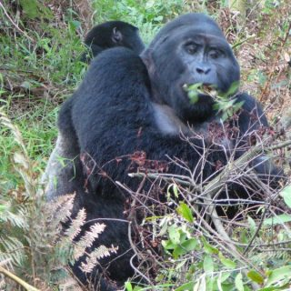 Lightning strike kills 4 mountain gorillas in Uganda park