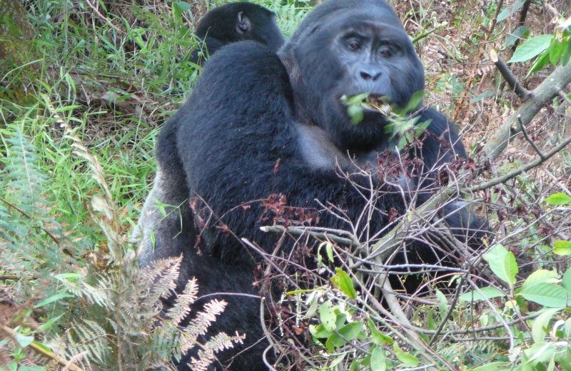 Lightning strike kills 4 mountain gorillas in Uganda park