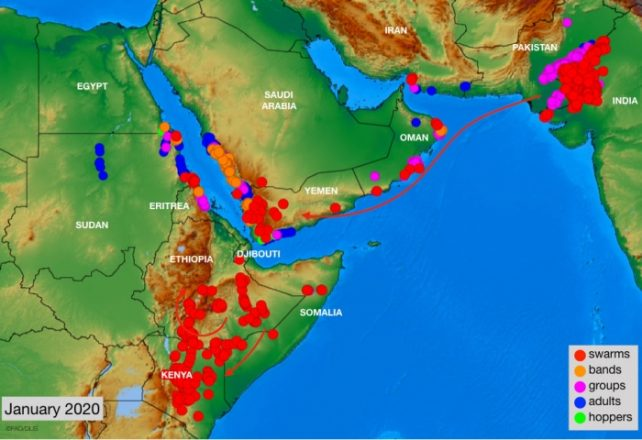 Locust destruction spreads into Red Sea, Persian Gulf nations