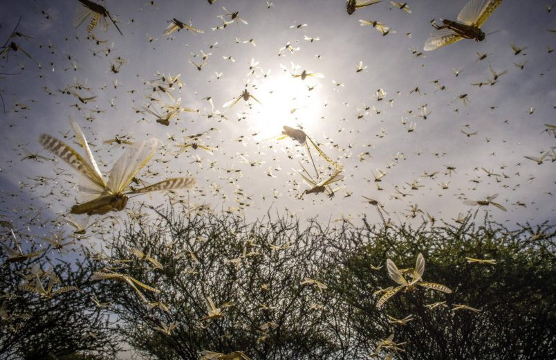 Gates donates $10 million as locust crisis reaches 'biblical proportions'