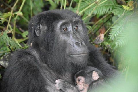 Uganda's gorillas thrive as tourism takes a COVID hit
