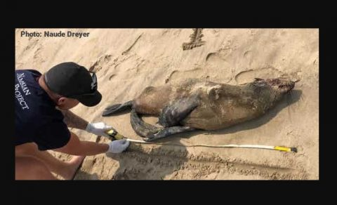 Namibians mystified by thousands of seal pup deaths