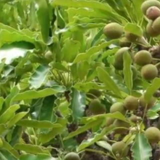 Burkina Faso study on shea tree finds biodiversity critical to protecting them