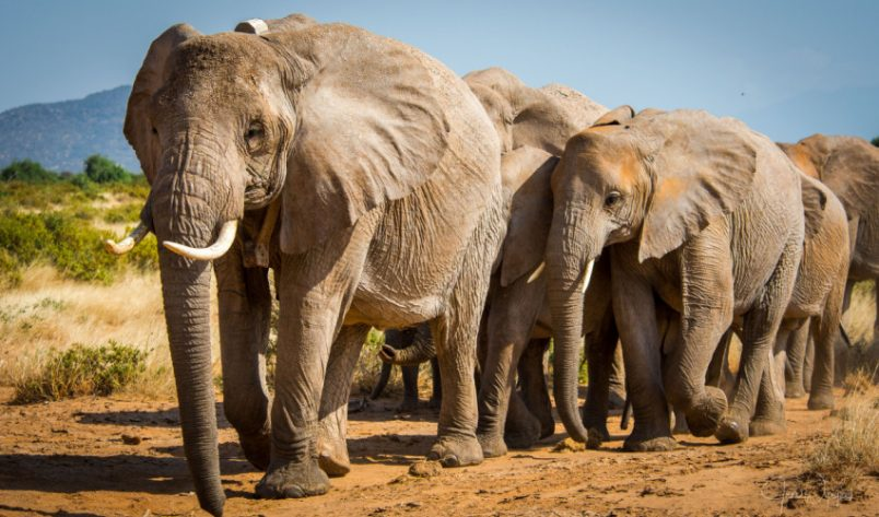 African elephant added to IUCN critically endangered list
